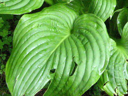 オオバギボウシの画像 p1_2
