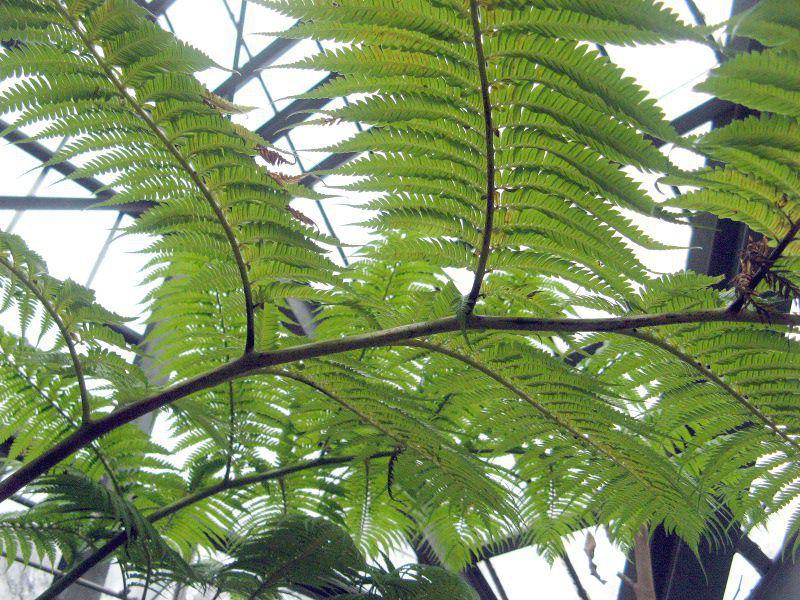 ヒカゲヘゴの画像 p1_2