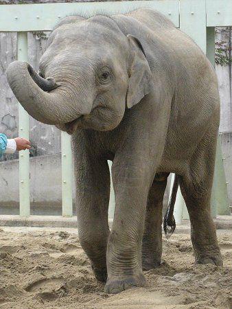 アジアゾウの画像 p1_36
