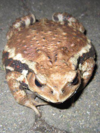 アズマヒキガエル(東蟇蛙)