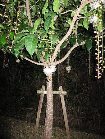 サガリバナの画像 p1_4