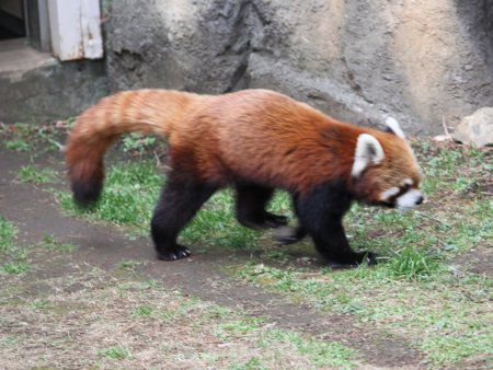 レッサーパンダの画像 p1_6