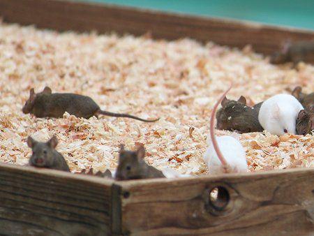 ハツカネズミの画像 p1_20