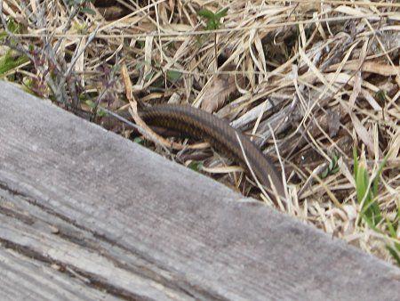 シマヘビの画像 p1_9