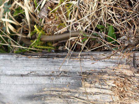 シマヘビの画像 p1_11
