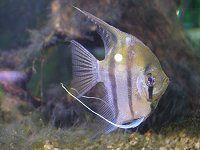 WEB淡水魚と節足動物図鑑【かぎけんWEB】