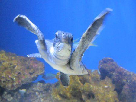 アオウミガメの画像 p1_12