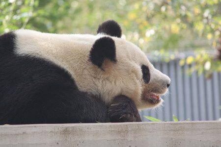 ジャイアントパンダの画像 p1_32