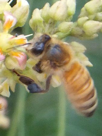 ミツバチの画像 p1_29
