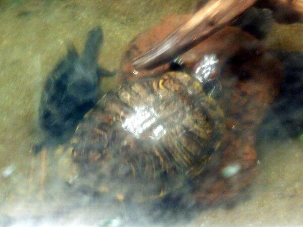 クサガメの画像 p1_12