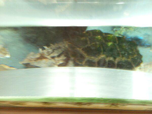 ワニガメの画像 p1_26