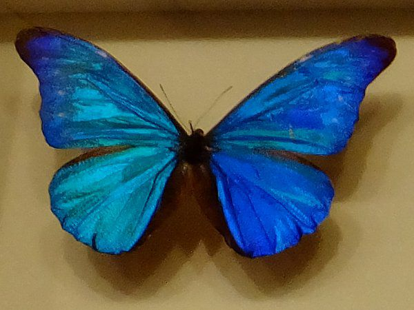 青色のモルフォチョウ
