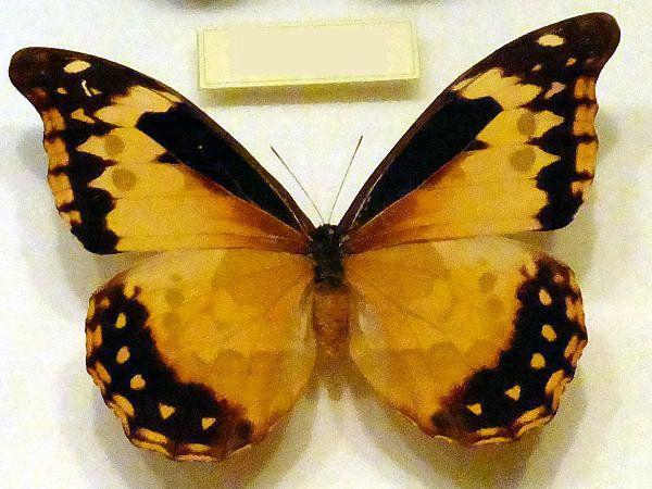 橙色のモルホチョウ