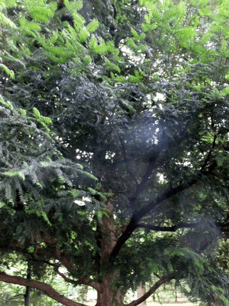 カヤの画像 p1_3
