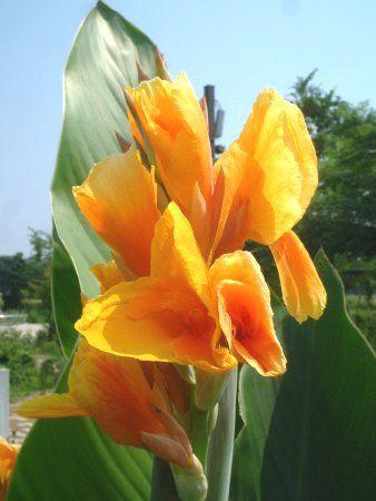 カンナ (植物)の画像 p1_18