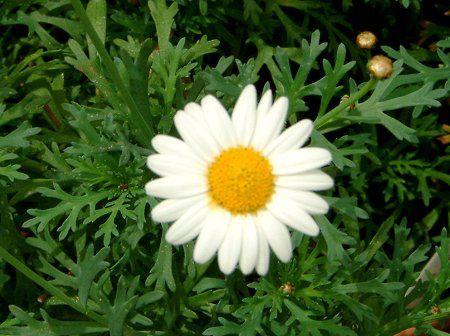 マーガレット (植物)の画像 p1_5