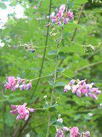北海道の花#3