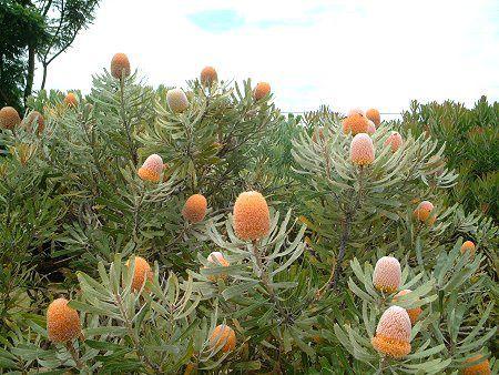 バンクシアオレンジフロスト(Banksia Orange Frost)
